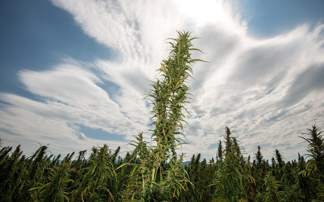 Washington Post Highlights Old Dominion Hemp
