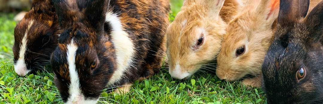 Rabbits eating grass together
